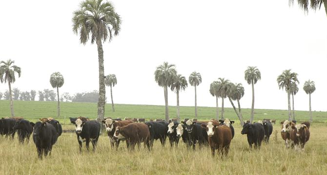 Cattle in Palmares